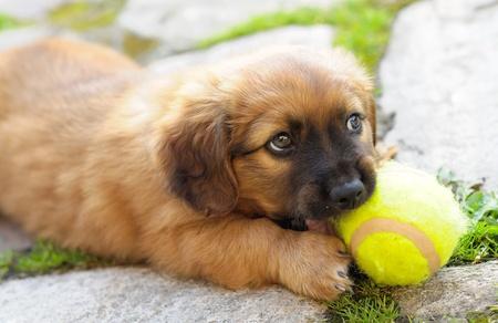 Kleine braune Welpen, alte nur wenigen Wochen wird mit Ball spielen. Lizenzfreie Bilder