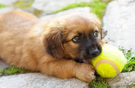 Pequeño perrito marrón, antiguo sólo pocas semanas está jugando con la pelota. Foto de archivo