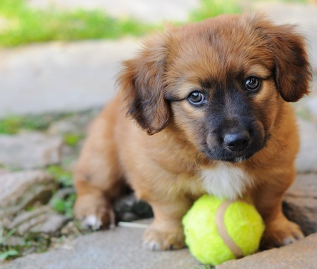 Small brown puppy, old only few weeks is playing with ball.