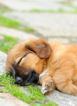 Small brown laying relax puppy, old only few weeks.