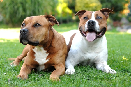 Two American Staffordshire terriers lying on the grass.
