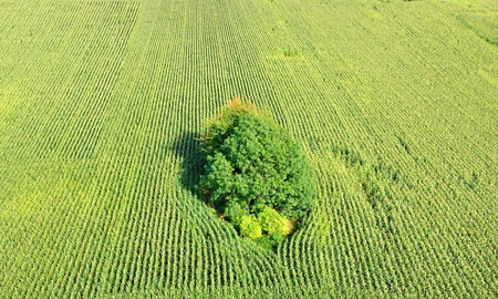Detailansicht zum Maisfeld mit gro�en Busch. Lizenzfreie Bilder