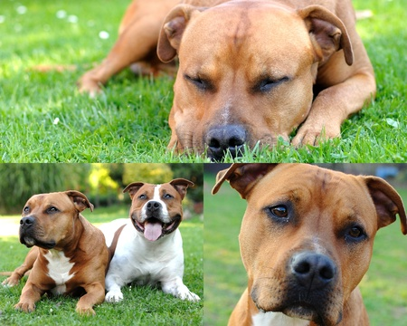 Collage photo with American Staffordshire bull terriers lying on the grass. photo