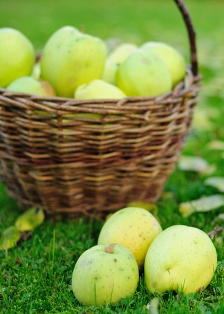 Green autumn apples in wicker basket. Stock Photo - 11102257