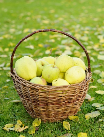 Green autumn apples in wicker basket. photo