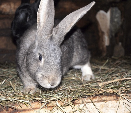 the hutch: Grey young rabbit in rabbit hutch. Stock Photo