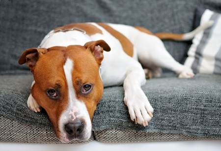 Portrait of lying American Staffordshire bull terrier. Stock Photo