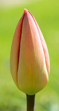 Macro shoot of spring tulip bud