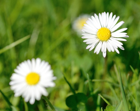 Macro shot of two white daisies
