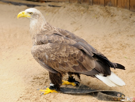 Golden Eagle  Aquila chrysaetos  jailed in ZOO  photo