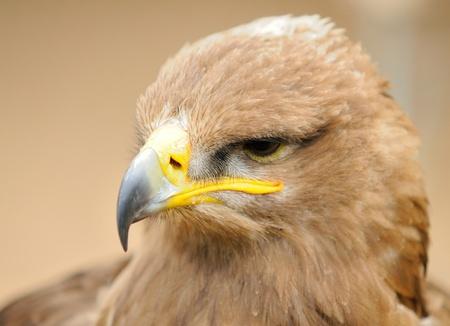 aquila reale: Testa ritratto oh Golden Eagle