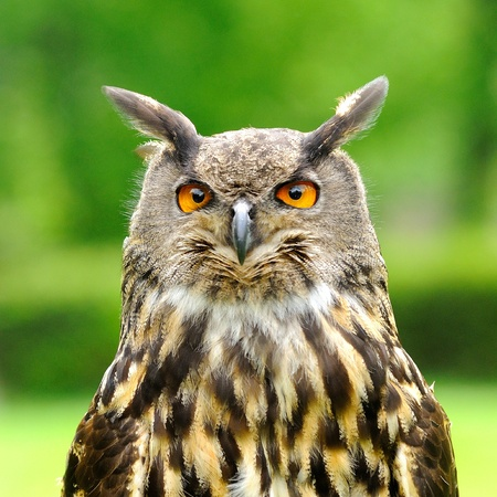 Head portrait of Eagle Owl  Bubo Bubo   Stock Photo - 13584534