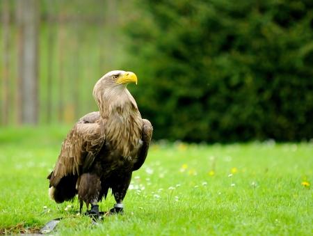 aquila: Golden Eagle  Aquila chrysaetos  jailed in ZOO