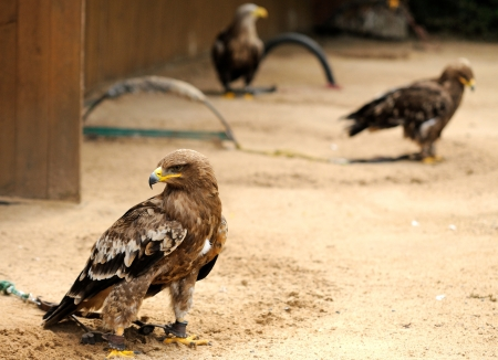 encarcelado: Golden Eagles Aquila chrysaetos encarcelado en ZOO