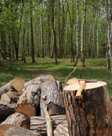 Axe and cuted trees in forest  photo