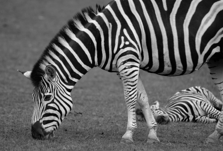 Black and white shot of Zebra in safari  photo