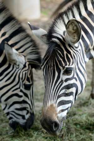 Head portrait of two Zebras during their feeding  photo
