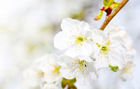 Makroaufnahme mit Kirsche bl�hen im Fr�hling Lizenzfreie Bilder