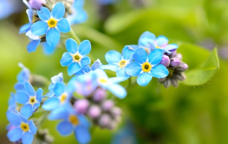 Macro shot with Forget-me-not flower in the garden  photo