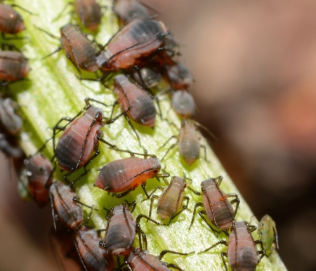 Aphids on the branch. Big macro shot.