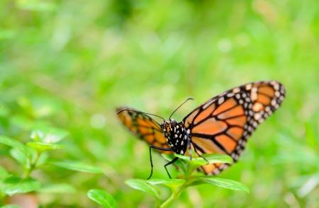 plexippus: The Monarch butterfly  Danaus plexippus  sitting on the green flower  Stock Photo