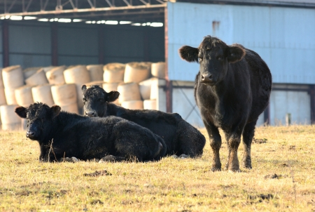 black angus cattle: Three black cows in the pasture