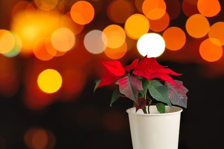pulcherrima: Euphorbia pulcherrima known as Christmas star  Poinsettia  with abstract orange