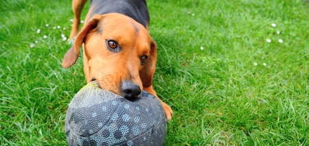 Wide closeup shot of the cute playful young dog playing with ball  Stock Photo