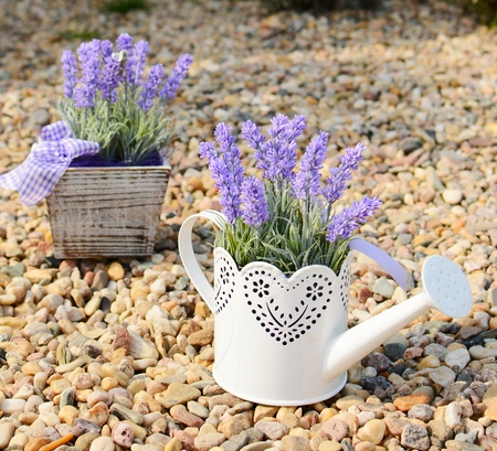 Lavender decoration in the old metal can and in the pot  photo
