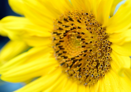 helianthus: Macro shot of  yellow Sunflower  Helianthus  blossom   Stock Photo