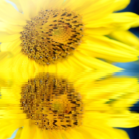 helianthus: Macro shot of  yellow Sunflower (helianthus) blossom with water reflection. Stock Photo