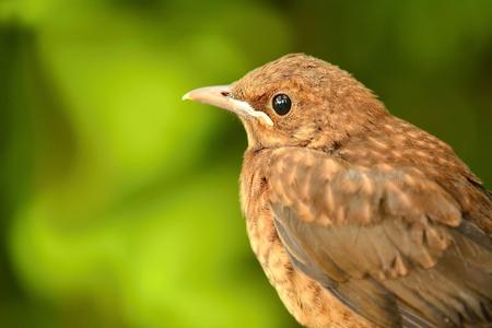 turdus: Closeup portrait of young brown Thrush (Turdus Philomelos) bird on green background. Portrait of thrush. Brown Thrush on green nature background. Stock Photo