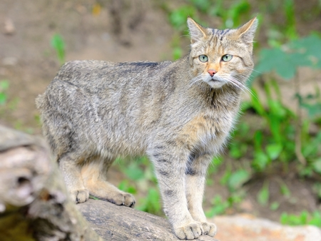 europeans: European wild cat with latin name Felis silvestris silvestris. Stock Photo