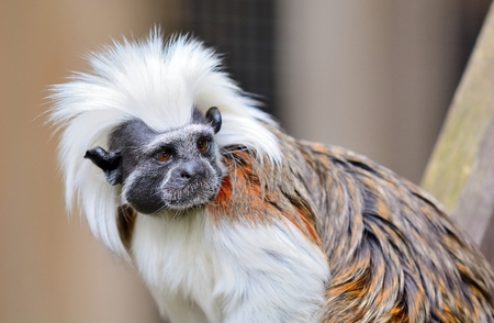 primates: Closeup of Cotton-top Tamarin monkey. Latin name Saguinus oedipus. Tamarin monkey live in tropical forest in South America and they are one of the smallest primates.