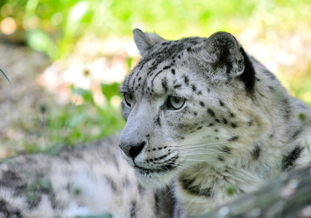 irbis: Closeup portrait of lying snow leopard (Uncia Uncia). He lives in mountain in central Asia.