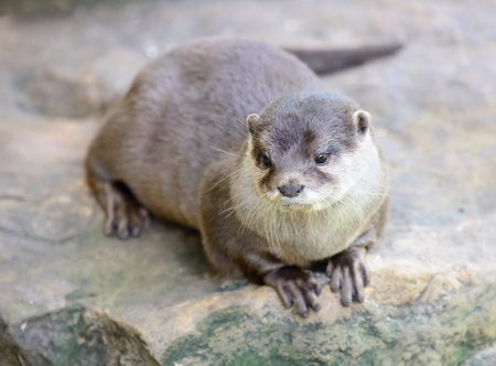 aonyx: Small-clawed otter lying on stone. Latin name Amblonyx cinerea. Stock Photo