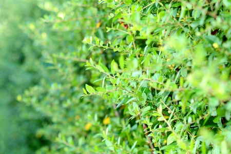 hedge plant: Closeup of green branches hedge. Green hedge plant background.