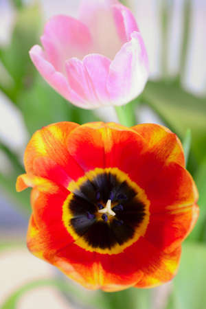 Closeup of red and pink blooming tulip flowers (Tulipa, Liliaceae). 스톡 콘텐츠