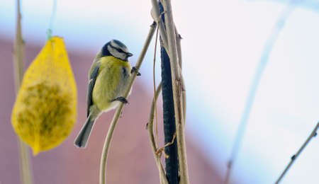 Closeup of Cute Great Tit Bird (Cyanistes Caeruleus) on branch.
