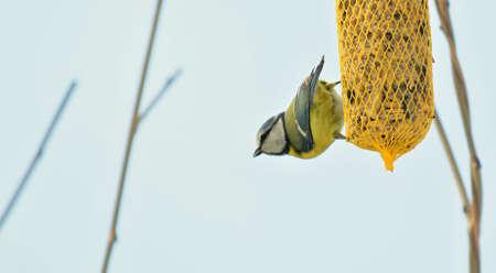 Closeup of Cute Great Tit Bird (Cyanistes Caeruleus) Hanging on Net Suet Feeder. 스톡 콘텐츠