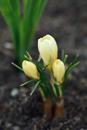 Growing spring yellow giant crocus (Crocus vernus) in the soil.