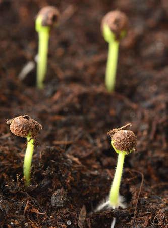 Macro shot of spring small growing seedlings from soil.