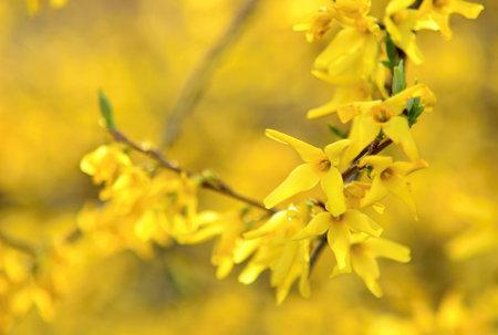 Blooming Forsythia Intermedia in Spring Season, Close up of Blooming Forsythia Intermedia Branches. 스톡 콘텐츠