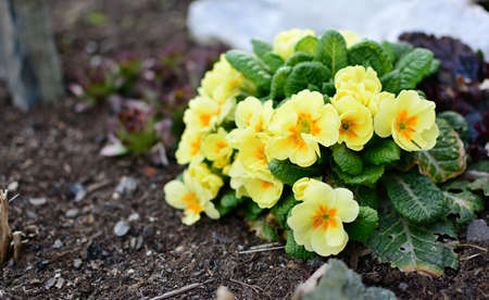 Bunch of yellow primula veris plants growing from soil in the garden. Primula veris closeup. 스톡 콘텐츠