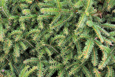 Background of green spruce tree branches. Full frame spruce tree background. Spruce natural texture and pattern.
