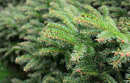 Close up of young spruce tree branches. Shallow depth of field, focused on foreground. 스톡 콘텐츠