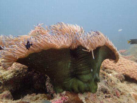 sea anemones with clownfish found at coral reef area at TIoman island Archivio Fotografico