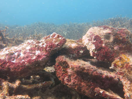 The coralline algae attached on rock at sea bottom of the ocean
