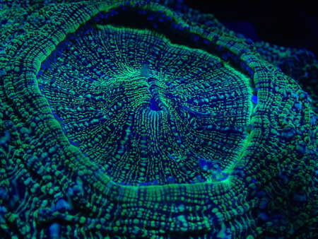 The beautiful coral under ultraviolet light found at deep water at Malaysia