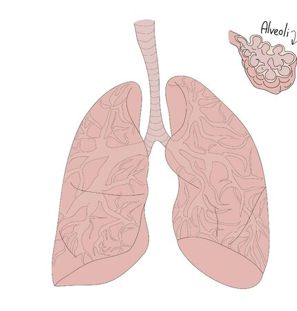 Human lungs. anatomy. alveoli. hand draw and hand lettering. biology. human anotomy. medical textbook. illustration of human organs Çizim